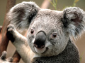 preview image for Koala.jpg