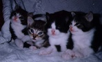 preview image for 4kittens.jpg