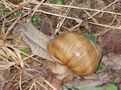 preview image for Weinbergschnecke-2.jpg